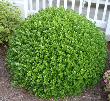 Boxwood. We had one of these in my front yard growing up, too. I loved to touch it and feel the fluffiness of it, and I loved watching it grow each year.