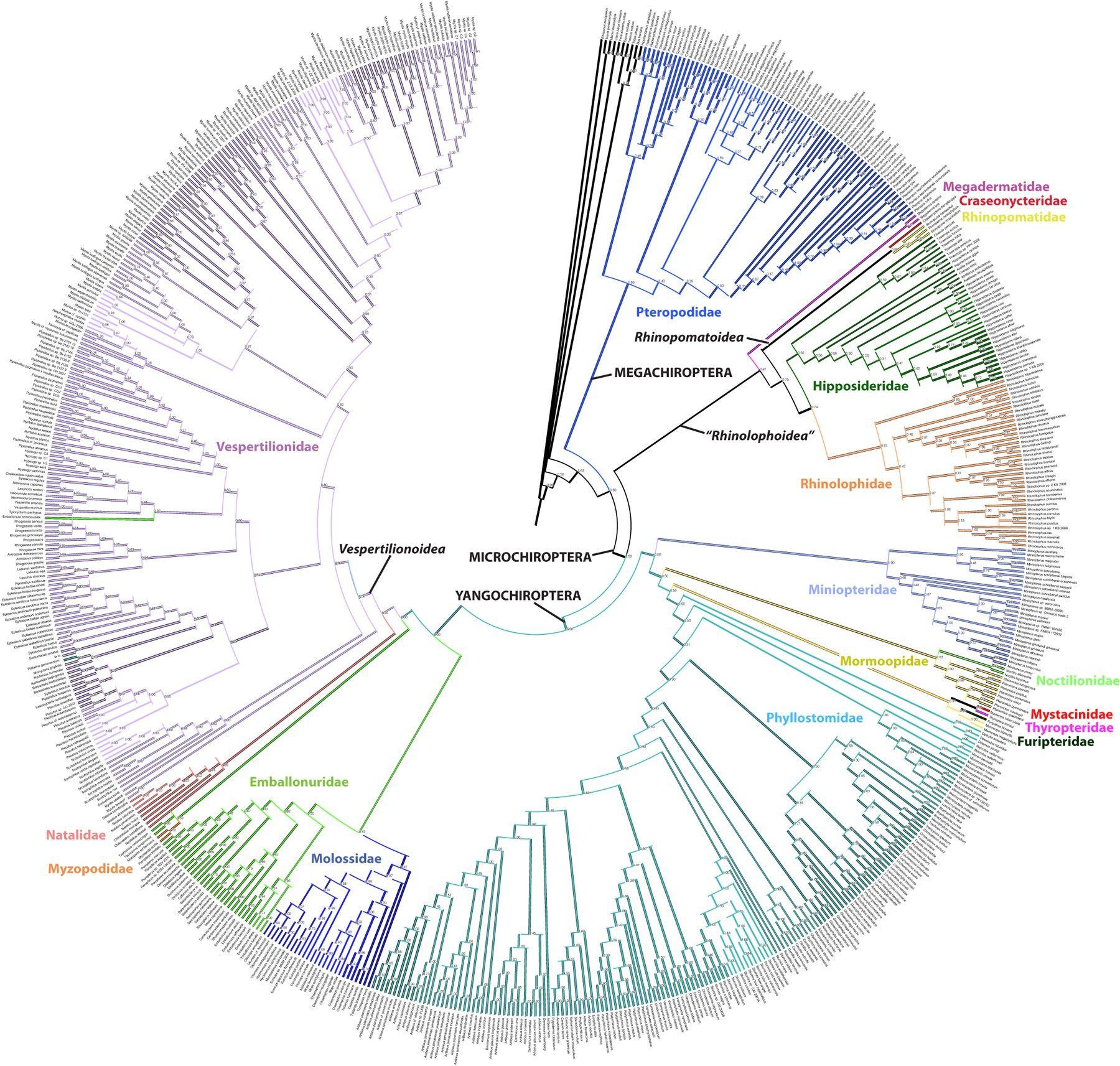 Bat Phylogeny