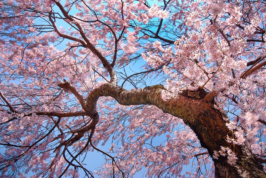 Spring In Cleveland Cherry Blossoms At Lakeview Cemetery Lakeview Cemetery Beautiful Tree Cool Photos