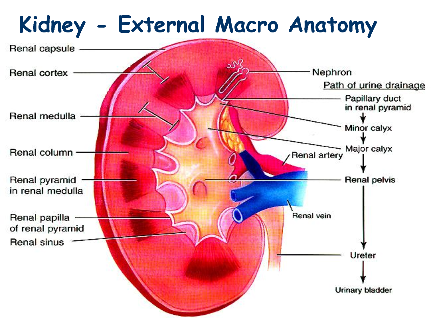 Anatomy Of Kidneys