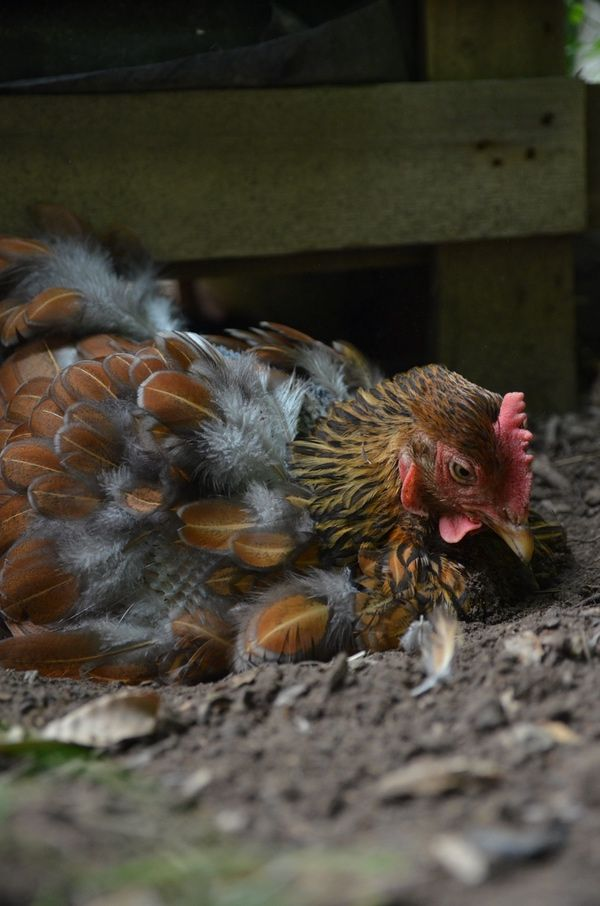 3 Common Chicken Pests and How to Get Rid of Them ...