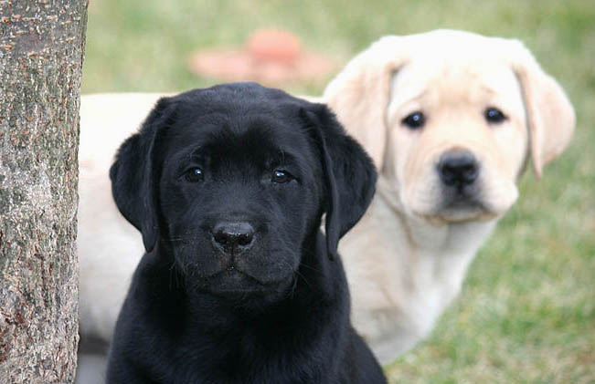 Goodwinds Labrador Retrievers English Stlye Labradors Virginia English Lab Puppies Labrador Retriever Labrador