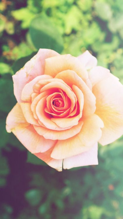 Pink Rose Flower Iphone 6 Plus Hd Wallpaper Rose Flower Wallpaper Flower Iphone Wallpaper Beautiful Flowers Wallpapers