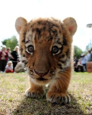 Hold A Tiger : tiger, Pierce, Russell, Exquisite, Beautiful, Animals,, Animals