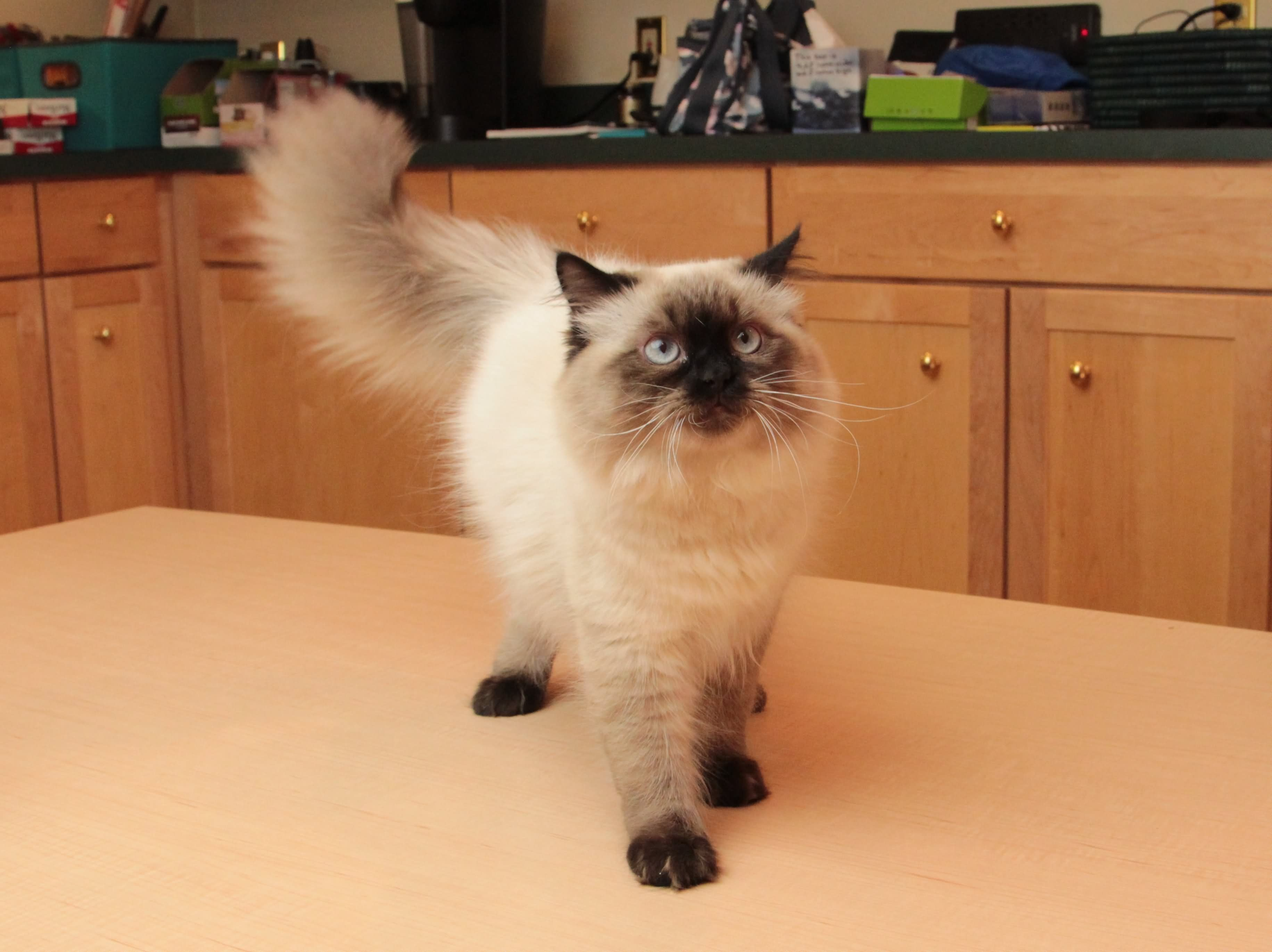 Seal Point Himalayan Cat Inside Himalayan Cat Is A Breed Or Sub Breed Of Long Haired Cat Identical In Type To Th Persian Cat Doll Face Cat Breeds Persian Cat