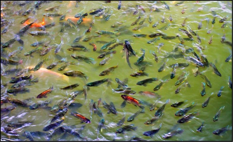 Tilapia For Sale Aquaponics Aquaponics System Aquaponics Fish