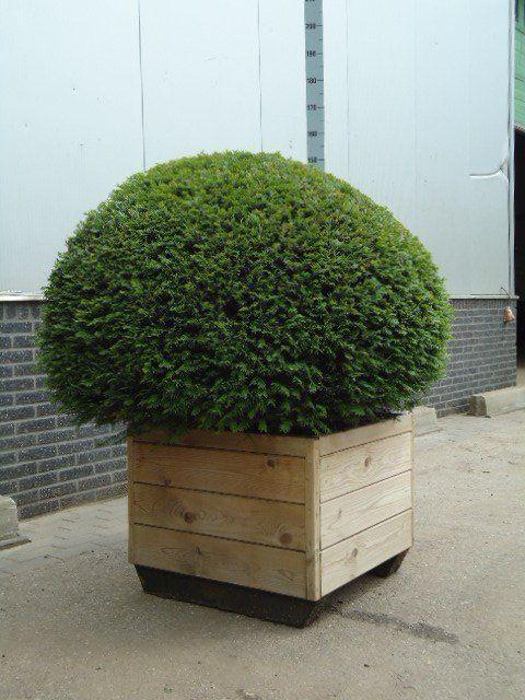 Taxus Baccata Kugel im dekorativen Holzkübel - Gartenpflanzen in - kugeln fur garten