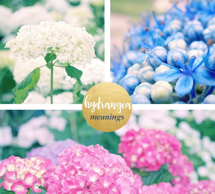 Hydrangea Meaning And Symbolism Ftd Com Flower Meanings Hydrangea Flowers