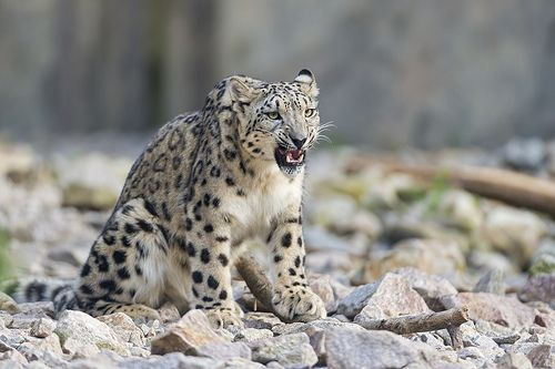 Snow leopard with funny and angry expression