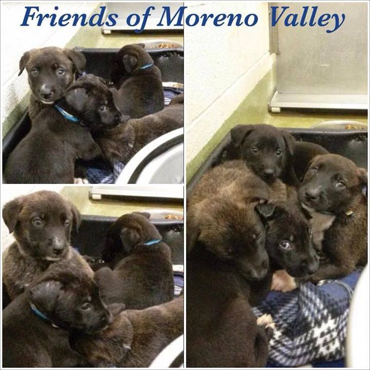 Moreno Valley Folks Please Foster Dog Adoption Collie Puppies