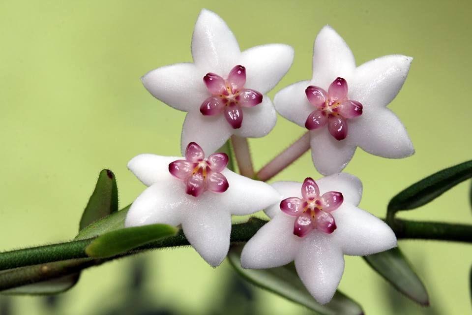 Beautiful Hoya Flower