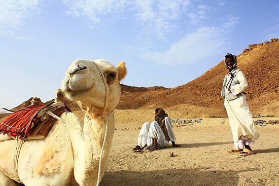Camel and Ababda boys, Egypt