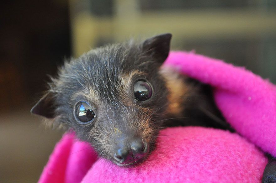 There S A Bat Hospital In Australia That Takes In Abandoned Baby Bats Baby Animals Funny Animals Baby Bats