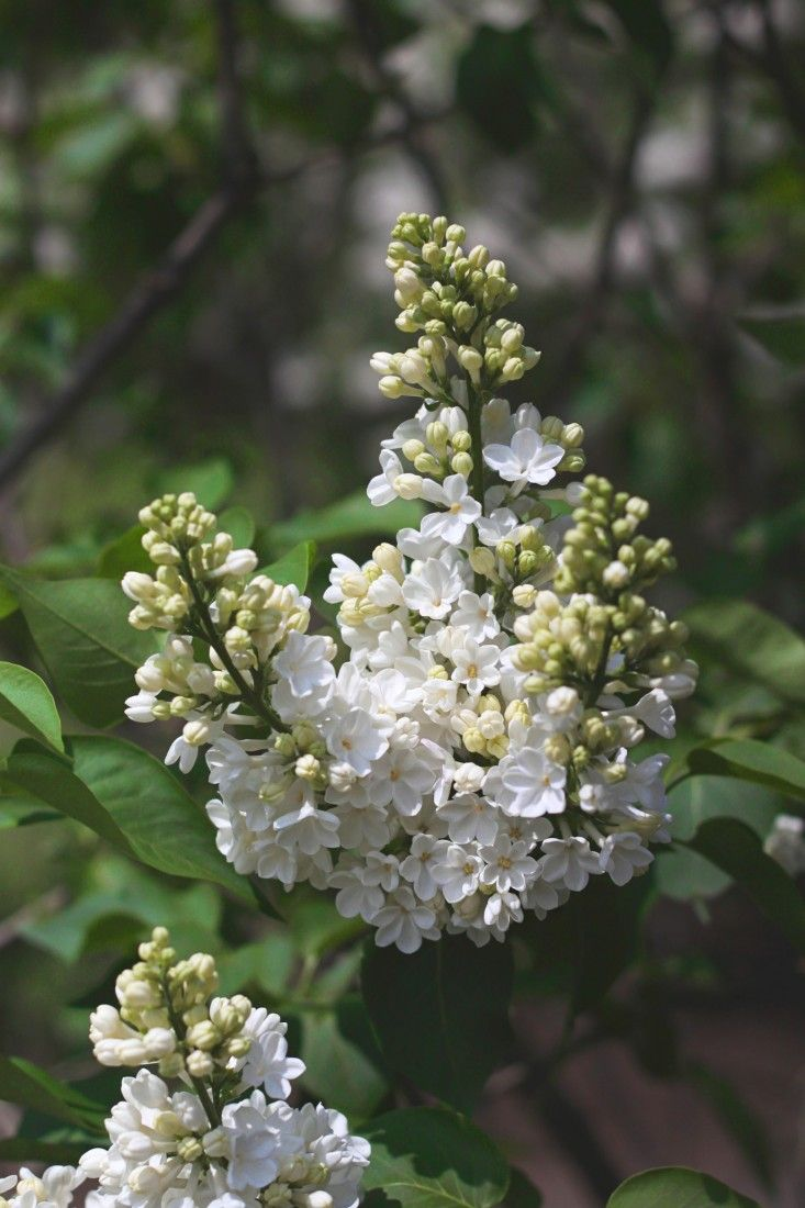 Lilac Love A Guide To Springs Best Loved Flower Syringa Vulgaris