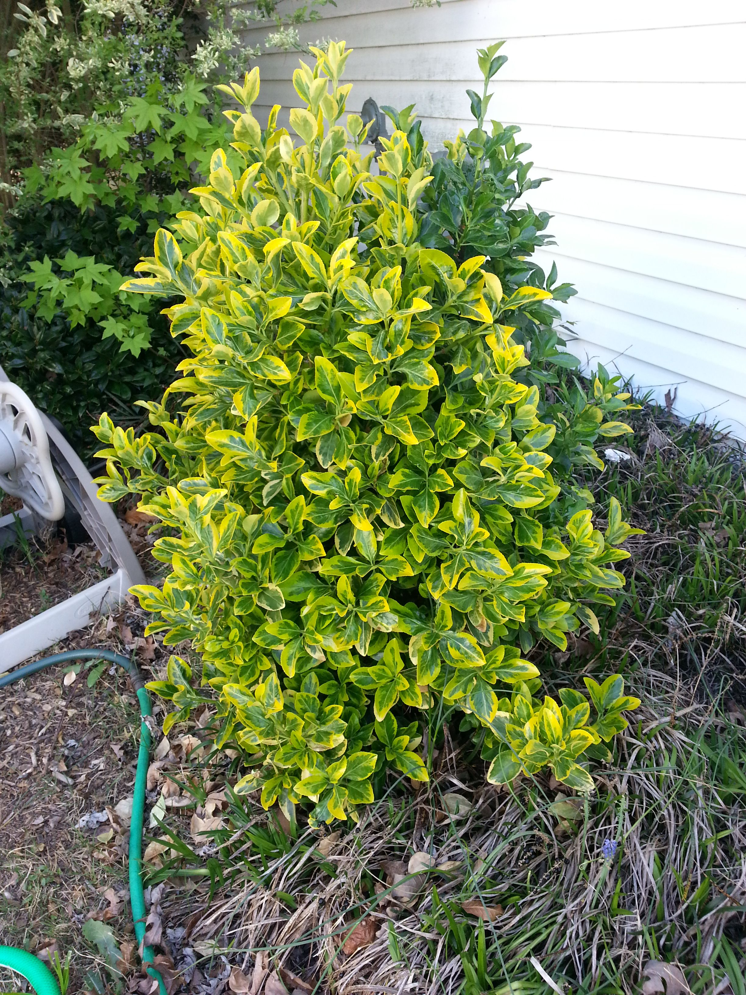 Golden Euonymus Landscaping Outdoor Spaces Pinterest