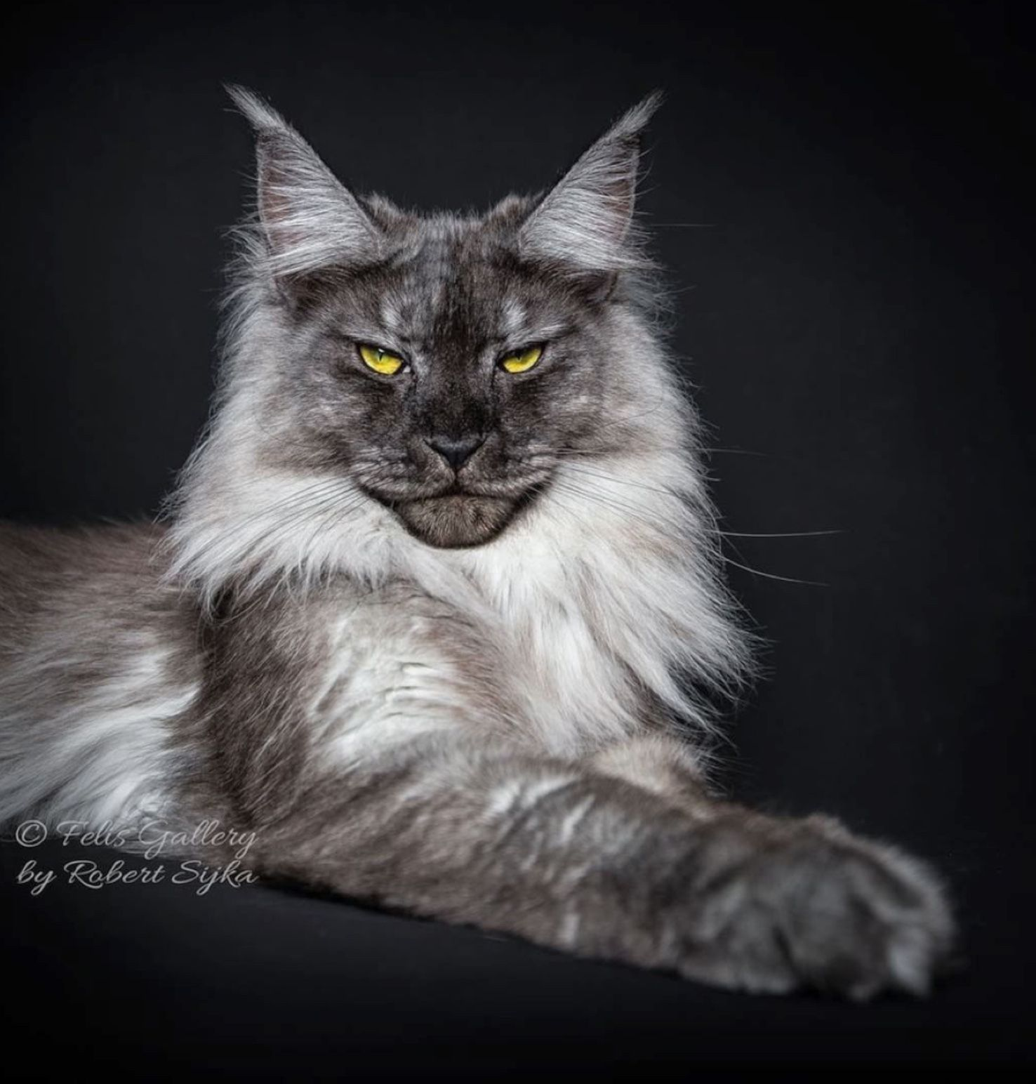 Gorgeous smokey silver Maine Coon cat with golden eyes    Felins