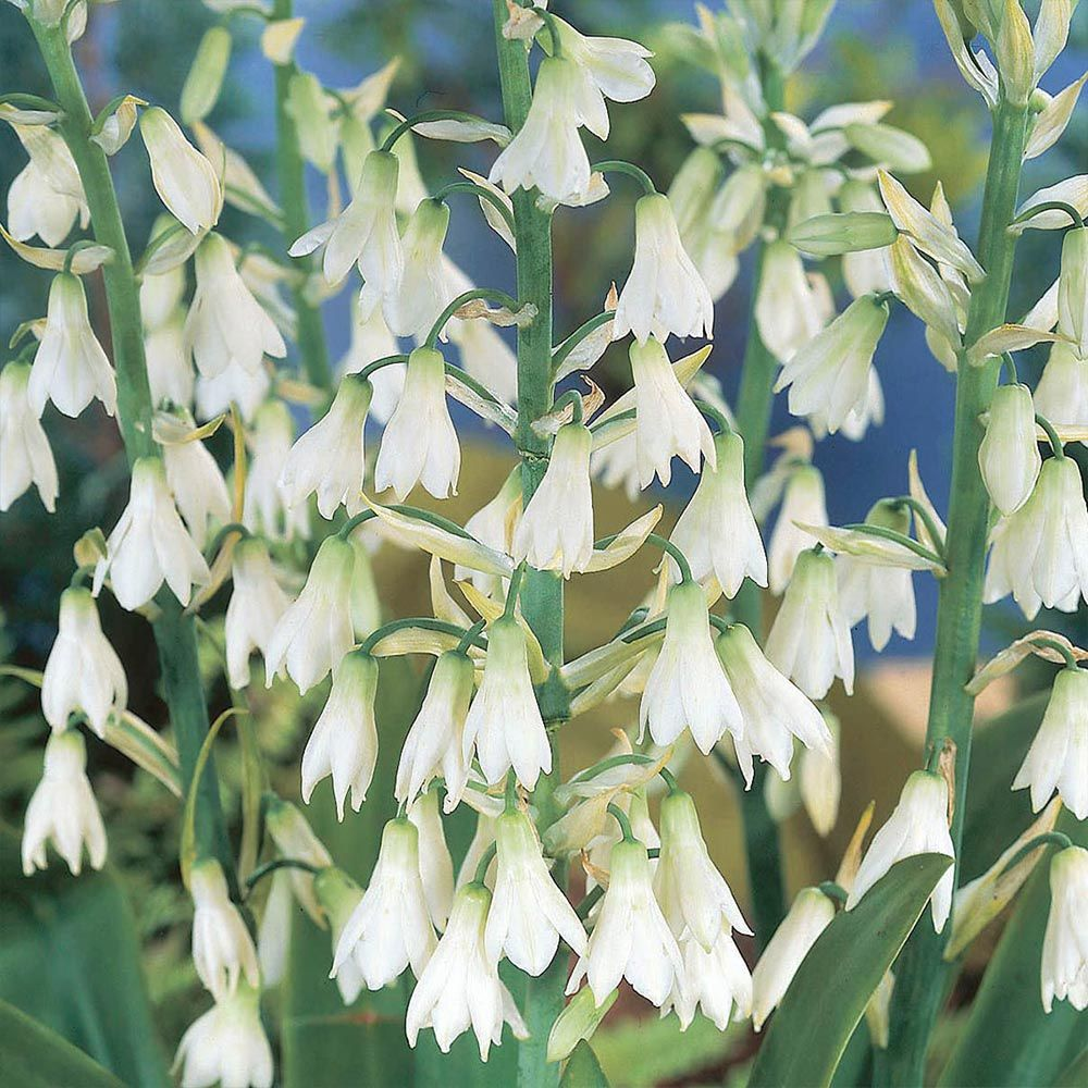 Galtonia Candicans Summer Hyacinth White Bell Shaped Flowers Up