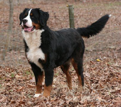 Bernese Mountain Dog Puppy For Sale In Hopkinsville Ky Adn 55985 On Puppyfinder Com Gend With Images Bernese Mountain Dog Bermese Mountain Dog Bernese Mountain Dog Puppy