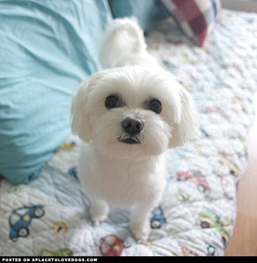 Maltese Cute Little Dogs Mini Dogs Breeds Small Dog Breeds