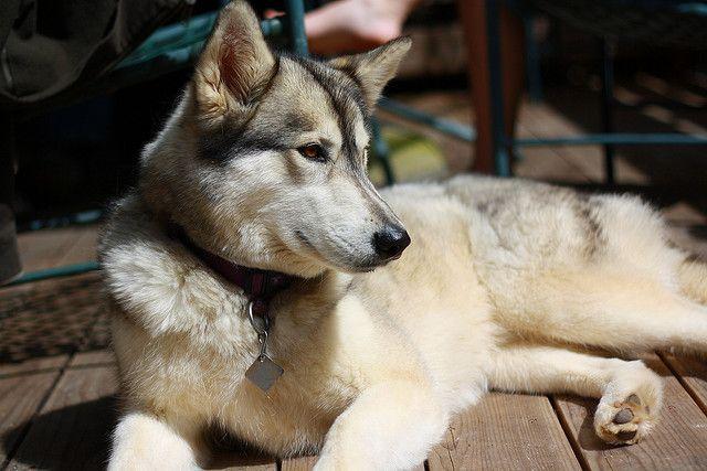 Timber Wolf Husky Mix Wolf Husky