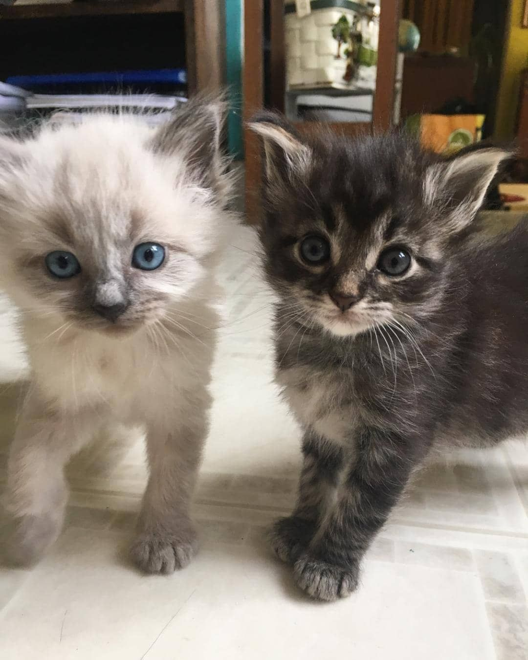 Kittens Cat Kitten Cats Kittens Lit Cute Fluff Small Adorable Love Hold Tiny Blue Kittens Cat Kitten Cats K Kittens Cats And Kittens Cats