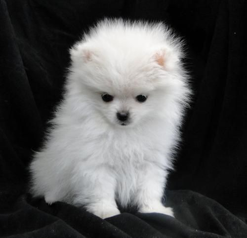 Pomeranians Dogs I Want One Of These Pomeranian Puppy Puppies Cute Animals