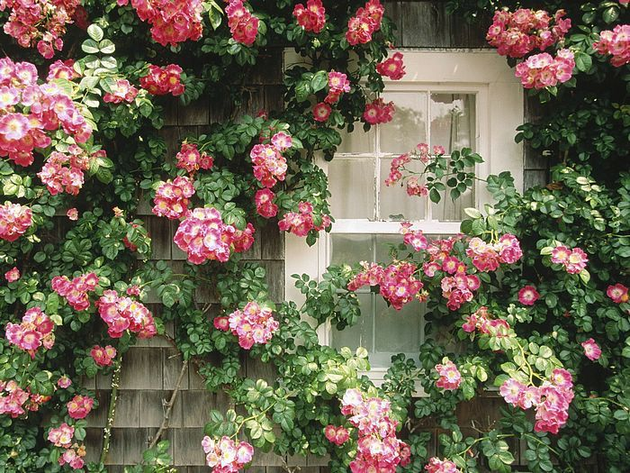 Rose Covered Cottage In Nantucket Climbing Roses Beautiful Flowers Cottage Wallpaper
