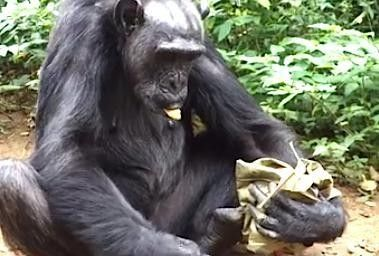 Chimp Makes A Purse Out Of Leaves To Carry All Her Snacks