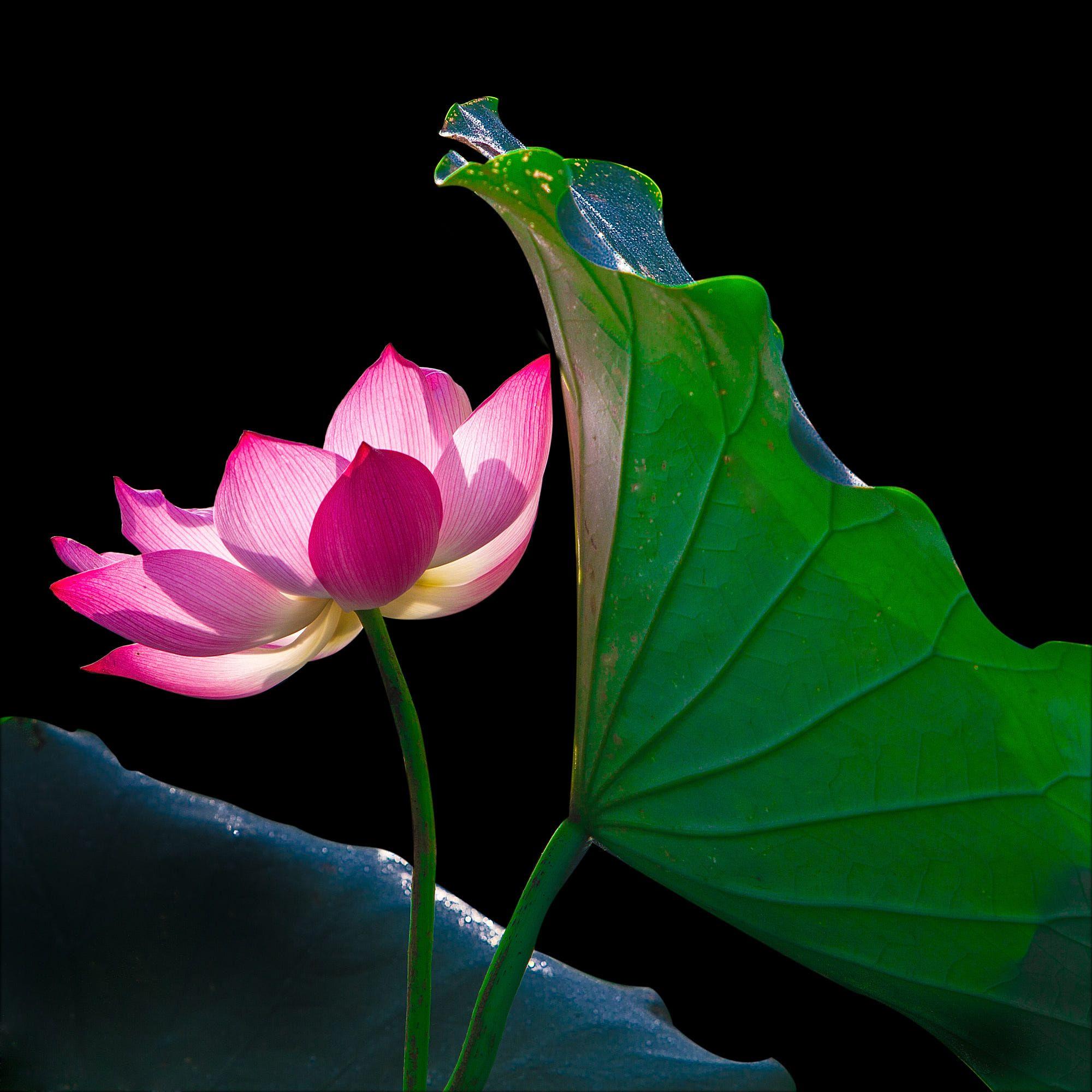 Lotus Flower And Lotus Flower Plants By Ha Son Lotus Pinterest