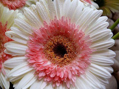 Pink White Gerbera Daisy Google Search Gerbera Daisy Front Yard Flowers Gerbera