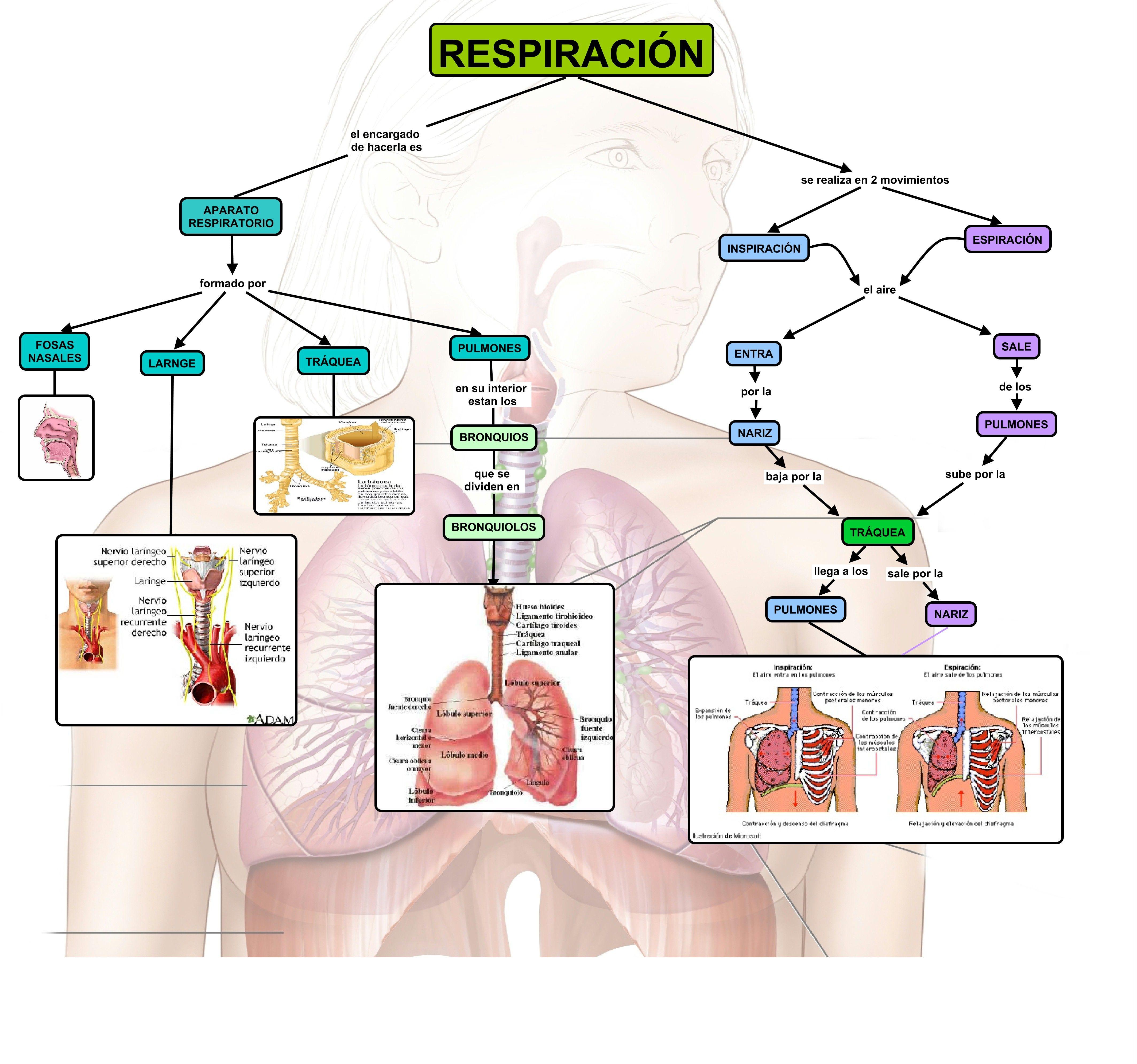 Cuadros Sinópticos Sobre El Aparato Respiratorio Humano Intercambio De Gase Aparato Respiratorio Humano Aparato Respiratorio Imagenes Del Aparato Respiratorio