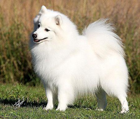 Japanese Dog Breeds Spitz Dogs Japanese Spitz Japanese Dogs