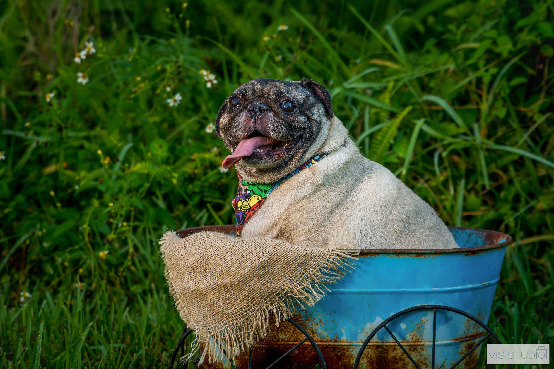 Park pug dog session at Palm Beach Gardens, South Florida. Idea for ...