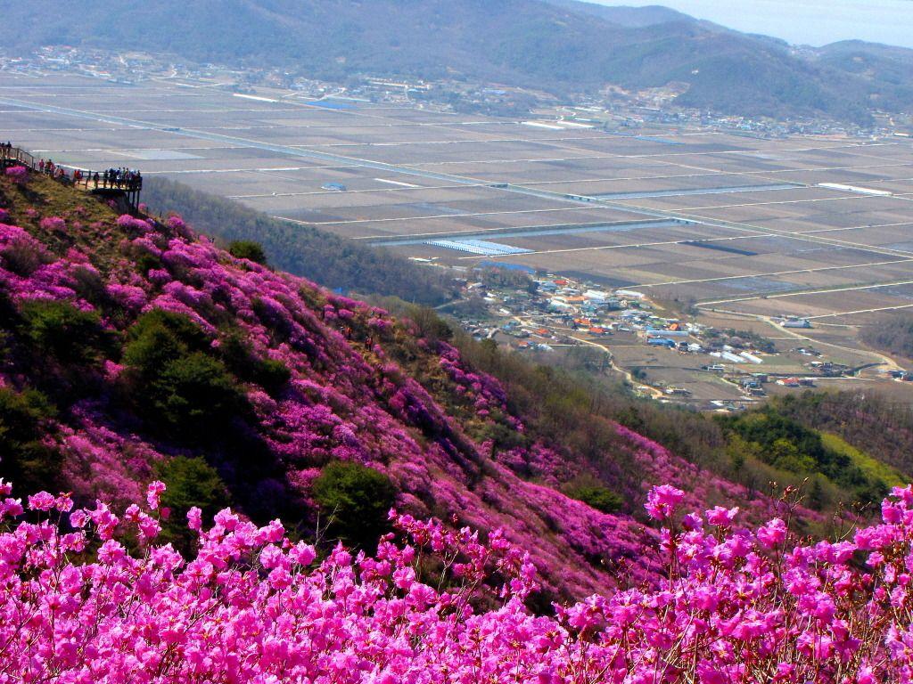 Goryeosan Azalea Festival In Ganghwa Island Korea Azalea Festival Beautiful Places On Earth South Korea