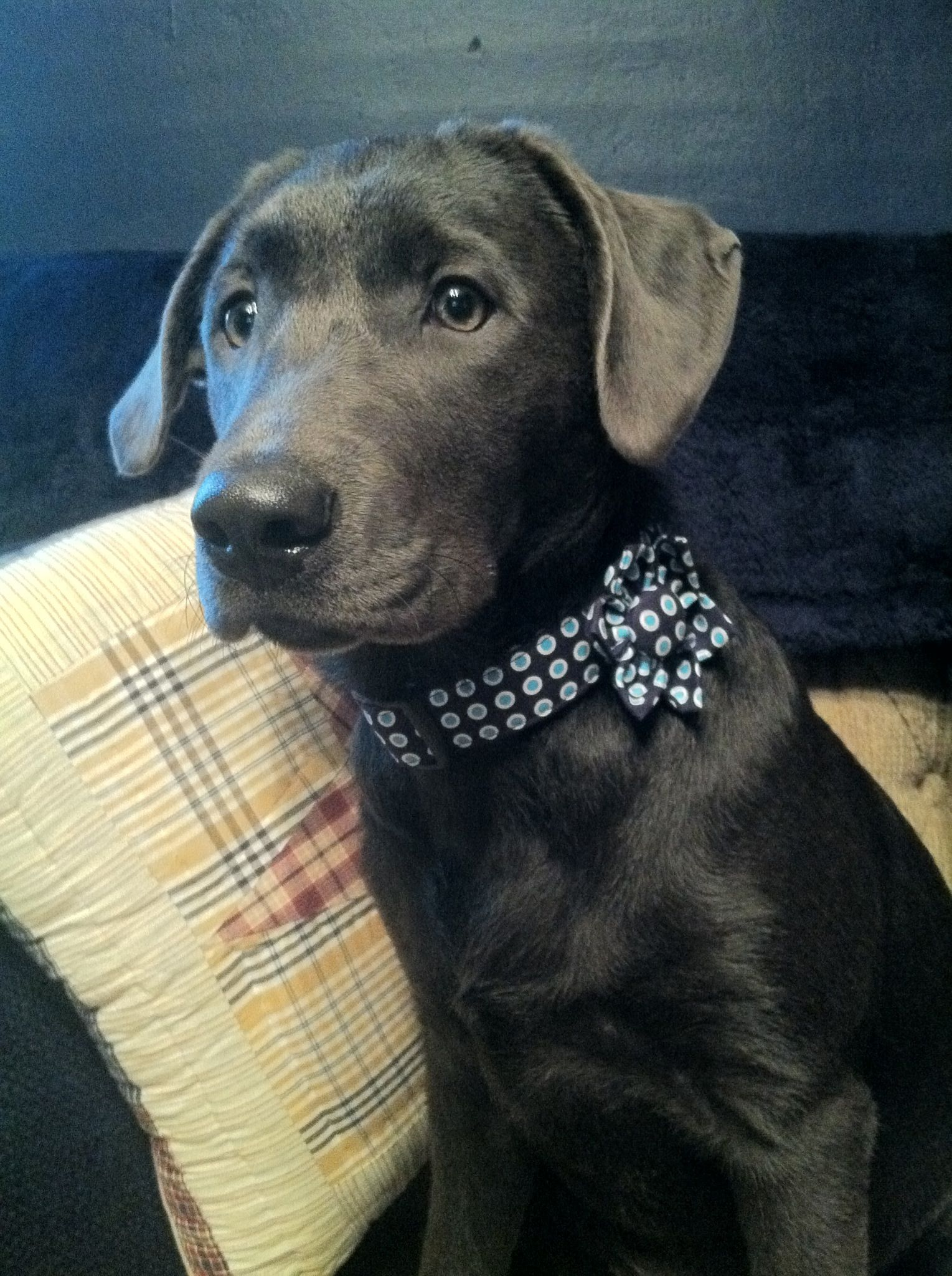 Savy Girl sporting her new collar from
