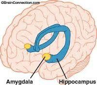 Dit is een foto van de amygdala en de hypocampus De ...