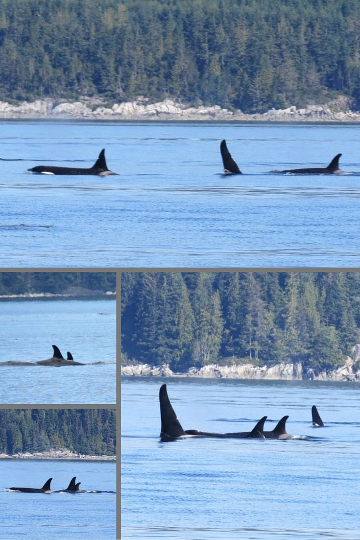 Kayaking With Orcas 2020 Tours In Johnstone Strait Vancouver Island Kayaking Sea Kayaking Orca
