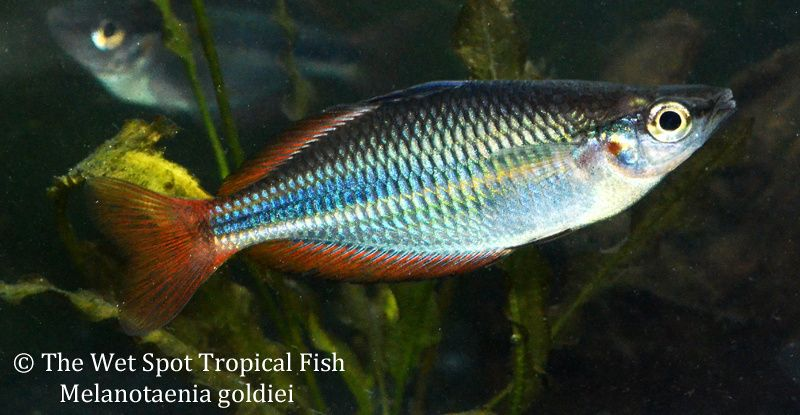 Rainbowfish With Images Rainbow Fish