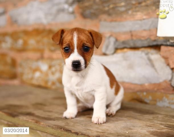 Jack Russell Terrier Puppy For Sale In Pennsylvania Jack Russell Puppies Jack Russell Dogs Puppies For Sale