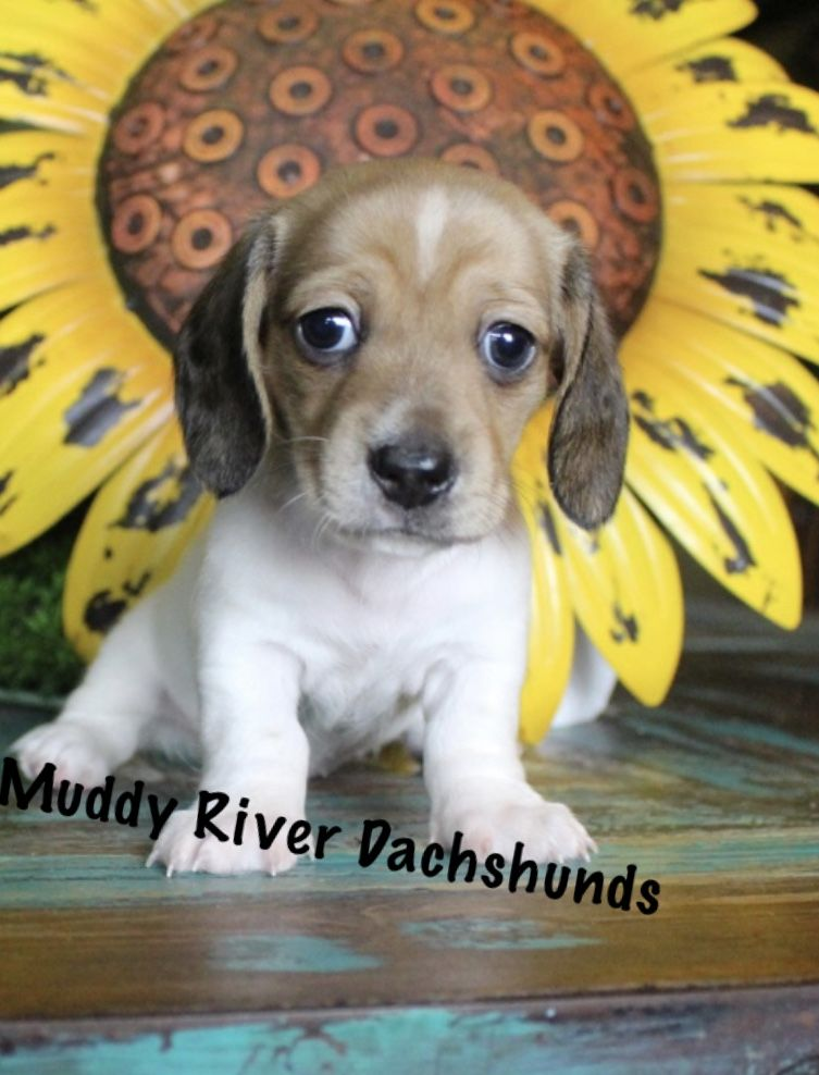 Muddy River Dachshunds Puppy Shaded Red Piebald Shorthair Mini