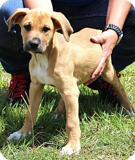 Great Dane Labrador Retriever Mix Puppy For Adoption In Silsbee