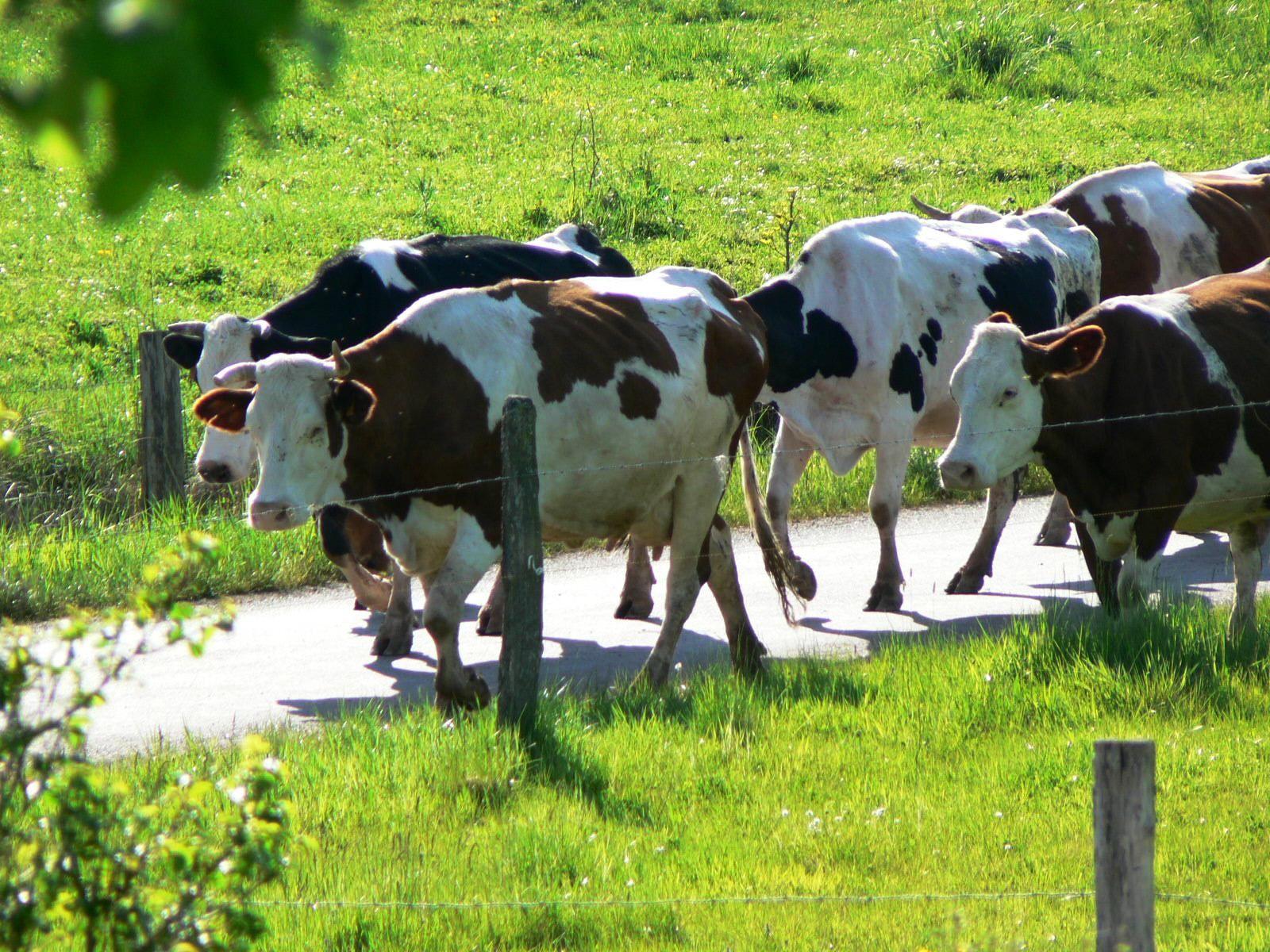 Cours De Dessin Montbéliard les vaches de montbéliard | race de vache, animaux
