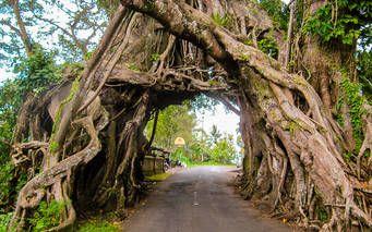 Der Holy Tree, ein uralter Baum auf Bali