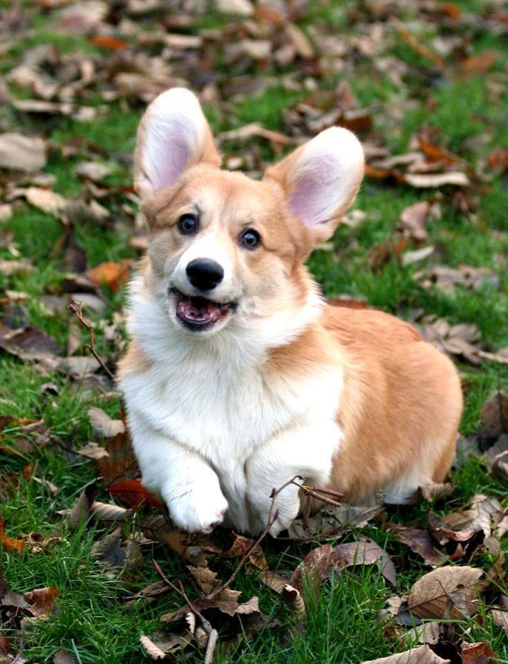 """Söpöysvaroitus! Satoja corgeja kirmasi koirauimarannalla Porissa - """"Olen kirjoittanut kotona liitutauluun, että Hänen korkeutensa Luna Ensimmäinen asuu täällä"""""""