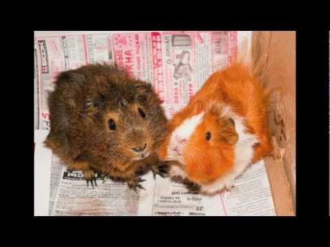 Guinea Pig Breeds...Which Is Right For You?