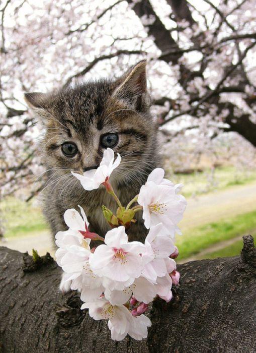 Cherry Blossom Tree Cat S Beautiful Cats Cute Animals Cute Cats