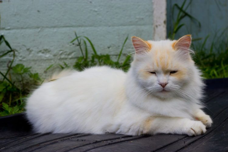 20 Most Popular Long Haired Cat Breeds Long Haired Cats Cat