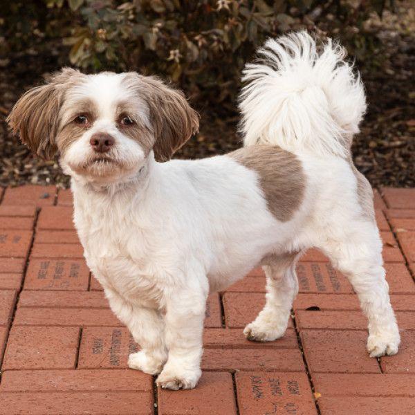 Shih Tzu Dog for Adoption in Arlington Heights, Illinois