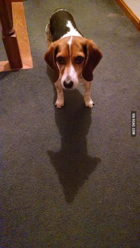 Her shadow makes an almost perfect arrow… No. She's a beagle, not a pointer.