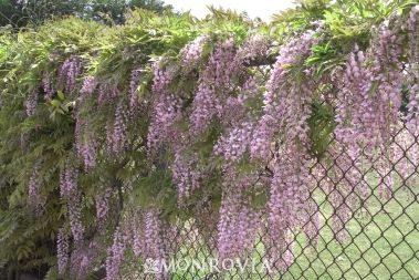 Wisteria Along Chain Link Fence The Woody Stems May Grown